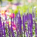 スマホ紫の花